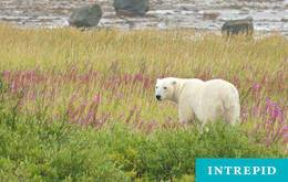 Wild Canada Belugas and Bears